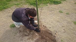 サクラ植樹②