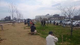 サクラ植樹④